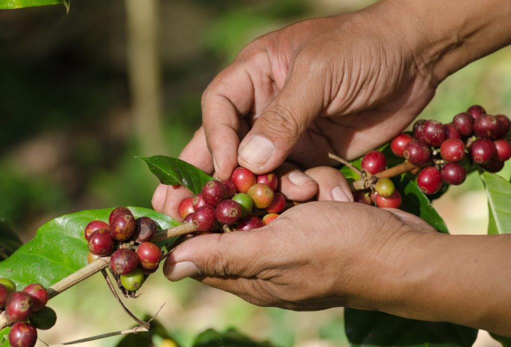 Kaffeefarmer Kaffeekirschen Da Roberto Kaffeemanufakur